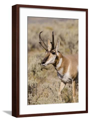 Pronghorn in Lamar Valley, Yellowstone National Park, Wyoming-Michael DeFreitas-Framed Art Print