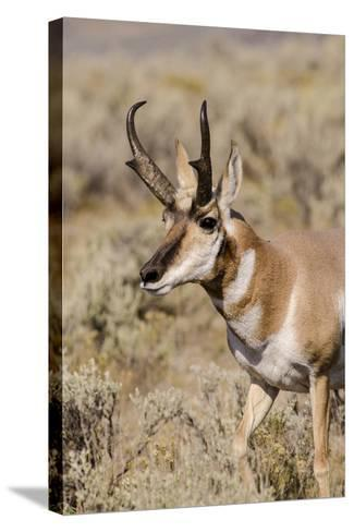 Pronghorn in Lamar Valley, Yellowstone National Park, Wyoming-Michael DeFreitas-Stretched Canvas Print