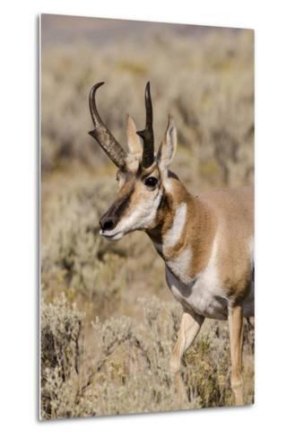 Pronghorn in Lamar Valley, Yellowstone National Park, Wyoming-Michael DeFreitas-Metal Print