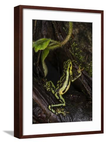 Elegant Harlequin Frog, Choco Region, Ecuador-Pete Oxford-Framed Art Print