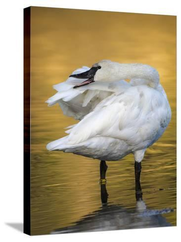 Trumpeter Swan Preening, Yellowstone National Park, Wyoming-Maresa Pryor-Stretched Canvas Print
