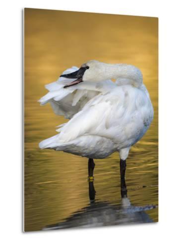 Trumpeter Swan Preening, Yellowstone National Park, Wyoming-Maresa Pryor-Metal Print