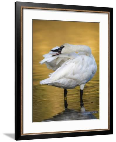 Trumpeter Swan Preening, Yellowstone National Park, Wyoming-Maresa Pryor-Framed Art Print