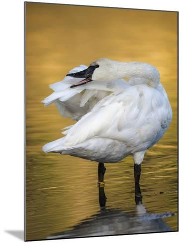 Trumpeter Swan Preening, Yellowstone National Park, Wyoming-Maresa Pryor-Mounted Photographic Print