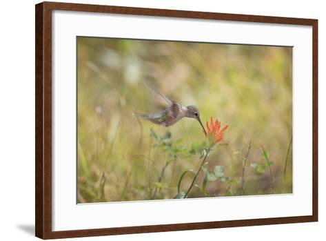 Colorado, Woodland Park. Broad-Tailed Hummingbird Feeds on Indian Paintbrush Flower-Jaynes Gallery-Framed Art Print