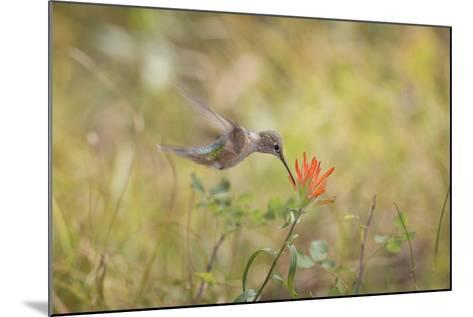 Colorado, Woodland Park. Broad-Tailed Hummingbird Feeds on Indian Paintbrush Flower-Jaynes Gallery-Mounted Photographic Print