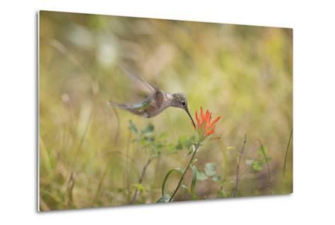 Colorado, Woodland Park. Broad-Tailed Hummingbird Feeds on Indian Paintbrush Flower-Jaynes Gallery-Metal Print