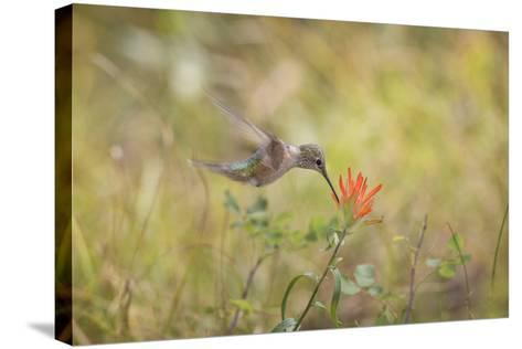 Colorado, Woodland Park. Broad-Tailed Hummingbird Feeds on Indian Paintbrush Flower-Jaynes Gallery-Stretched Canvas Print
