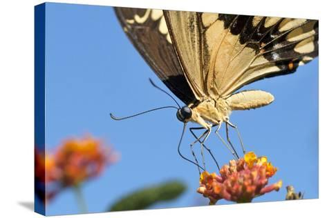 California. Anise Swallowtail Butterfly on Flower-Jaynes Gallery-Stretched Canvas Print