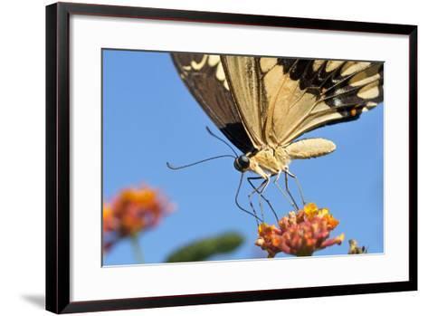 California. Anise Swallowtail Butterfly on Flower-Jaynes Gallery-Framed Art Print