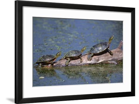 Western Painted Turtle, Two Sunning Themselves on a Log, National Bison Range, Montana, Usa-John Barger-Framed Art Print