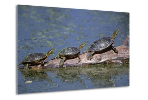 Western Painted Turtle, Two Sunning Themselves on a Log, National Bison Range, Montana, Usa-John Barger-Metal Print