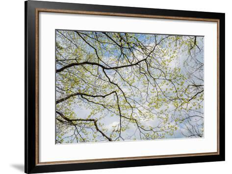 Skyward View of Dogwood Tree Blossoms in Spring, Great Smoky Mountains National Park, Tennessee-Adam Jones-Framed Art Print