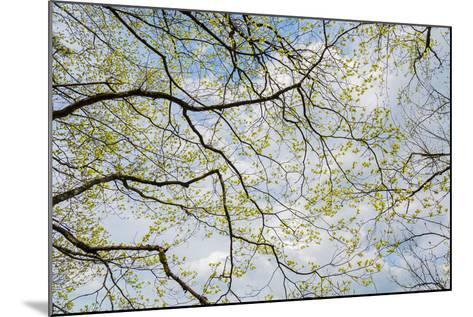 Skyward View of Dogwood Tree Blossoms in Spring, Great Smoky Mountains National Park, Tennessee-Adam Jones-Mounted Photographic Print