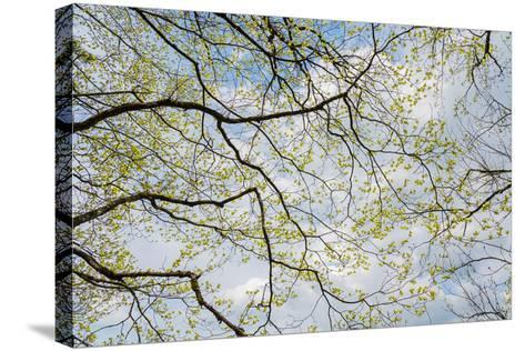 Skyward View of Dogwood Tree Blossoms in Spring, Great Smoky Mountains National Park, Tennessee-Adam Jones-Stretched Canvas Print