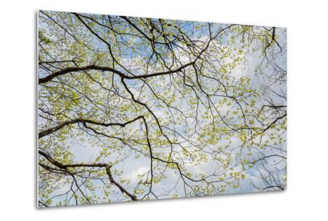 Skyward View of Dogwood Tree Blossoms in Spring, Great Smoky Mountains National Park, Tennessee-Adam Jones-Metal Print
