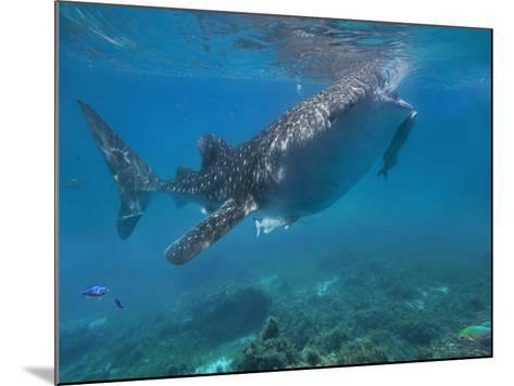 Whale Shark with a Remora Feeding at Surface, Oslob, Cebu, Philippines-Tim Fitzharris-Mounted Photographic Print