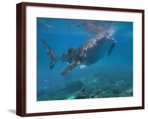 Whale Shark with a Remora Feeding at Surface, Oslob, Cebu, Philippines-Tim Fitzharris-Framed Art Print