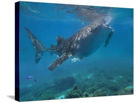 Whale Shark with a Remora Feeding at Surface, Oslob, Cebu, Philippines-Tim Fitzharris-Stretched Canvas Print