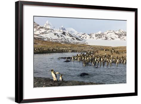 St. Andrew's Bay, South Georgia Island. King Penguins Cross a Stream-Jaynes Gallery-Framed Art Print