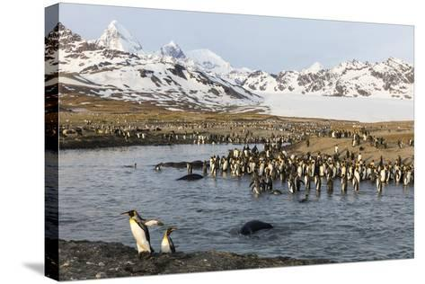 St. Andrew's Bay, South Georgia Island. King Penguins Cross a Stream-Jaynes Gallery-Stretched Canvas Print
