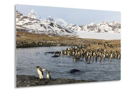 St. Andrew's Bay, South Georgia Island. King Penguins Cross a Stream-Jaynes Gallery-Metal Print