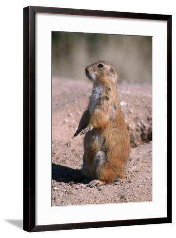 Black-Tailed Prairie Dog Standing, Badlands National Park, South Dakota, Usa-John Barger-Framed Art Print