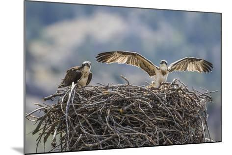 Wyoming, a Young Osprey Flaps it's Wings in Preparation for Fledging as Adult Looks On-Elizabeth Boehm-Mounted Photographic Print