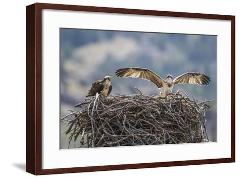 Wyoming, a Young Osprey Flaps it's Wings in Preparation for Fledging as Adult Looks On-Elizabeth Boehm-Framed Art Print