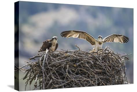 Wyoming, a Young Osprey Flaps it's Wings in Preparation for Fledging as Adult Looks On-Elizabeth Boehm-Stretched Canvas Print
