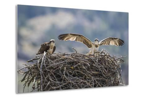 Wyoming, a Young Osprey Flaps it's Wings in Preparation for Fledging as Adult Looks On-Elizabeth Boehm-Metal Print