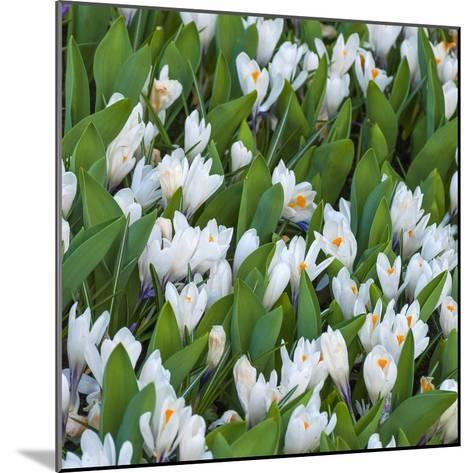 White Crocus Blooms-Anna Miller-Mounted Photographic Print