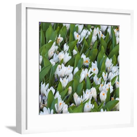 White Crocus Blooms-Anna Miller-Framed Art Print