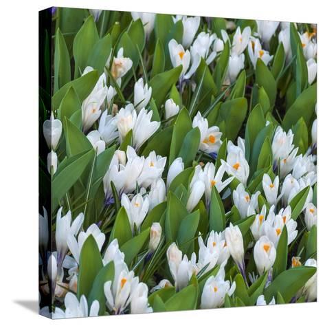 White Crocus Blooms-Anna Miller-Stretched Canvas Print