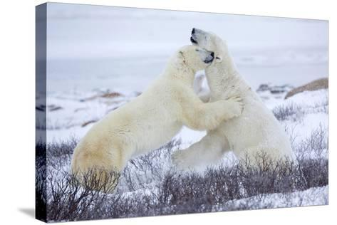Polar Bears Sparring in Churchill Wildlife Management Area, Churchill, Manitoba, Canada-Richard and Susan Day-Stretched Canvas Print