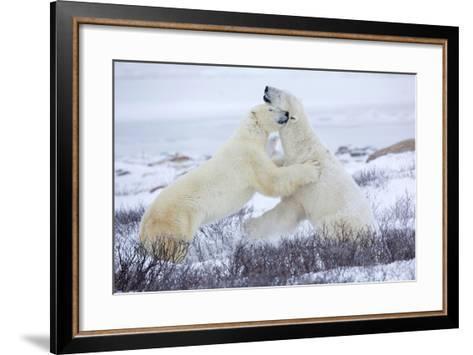Polar Bears Sparring in Churchill Wildlife Management Area, Churchill, Manitoba, Canada-Richard and Susan Day-Framed Art Print