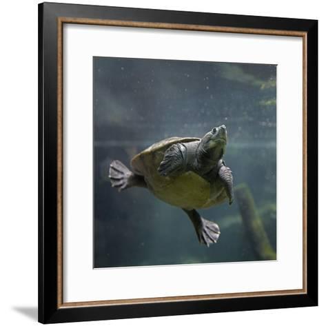 Portrait of a Giant Asian Pond Turtle, Singapore-Tim Fitzharris-Framed Art Print