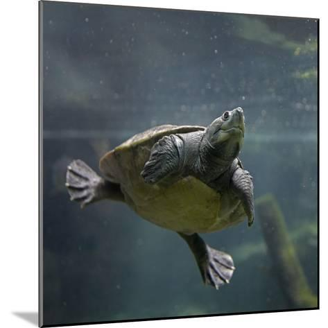 Portrait of a Giant Asian Pond Turtle, Singapore-Tim Fitzharris-Mounted Photographic Print