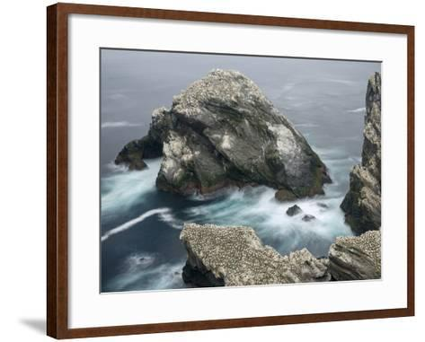 Hermaness National Nature Reserve on Island Unst. Hermaness Reserve with Colony of Northern Gannet-Martin Zwick-Framed Art Print