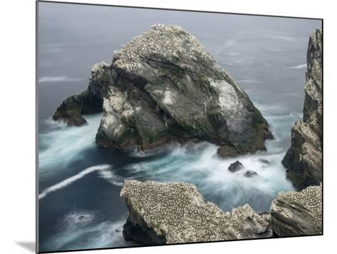 Hermaness National Nature Reserve on Island Unst. Hermaness Reserve with Colony of Northern Gannet-Martin Zwick-Mounted Photographic Print