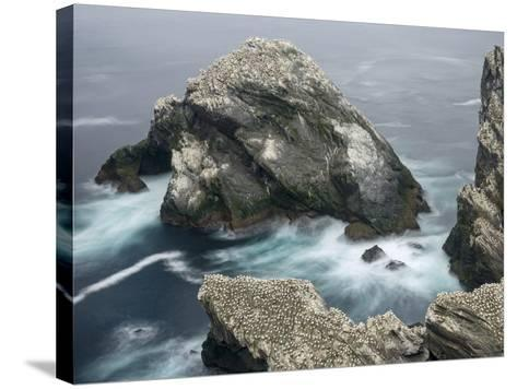Hermaness National Nature Reserve on Island Unst. Hermaness Reserve with Colony of Northern Gannet-Martin Zwick-Stretched Canvas Print