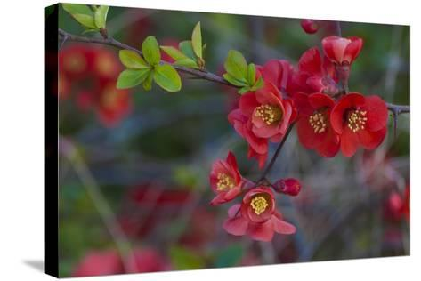 Red Flowers on a Branch-Anna Miller-Stretched Canvas Print