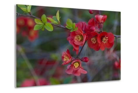 Red Flowers on a Branch-Anna Miller-Metal Print