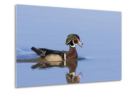 Wood Duck Male in Wetland, Marion County, Il-Richard and Susan Day-Metal Print