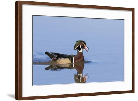 Wood Duck Male in Wetland, Marion County, Il-Richard and Susan Day-Framed Art Print