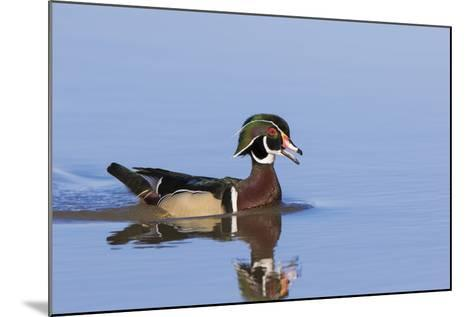 Wood Duck Male in Wetland, Marion County, Il-Richard and Susan Day-Mounted Photographic Print