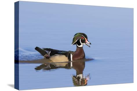 Wood Duck Male in Wetland, Marion County, Il-Richard and Susan Day-Stretched Canvas Print