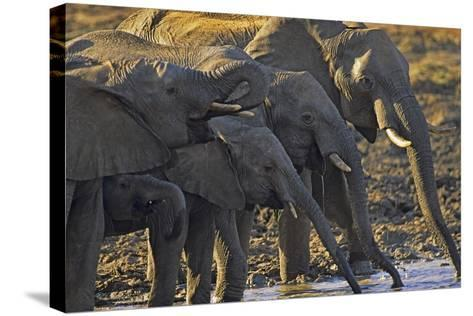 African Elephants Drinking from a Waterhole, Kenya, Africa-Tim Fitzharris-Stretched Canvas Print
