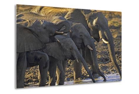 African Elephants Drinking from a Waterhole, Kenya, Africa-Tim Fitzharris-Metal Print