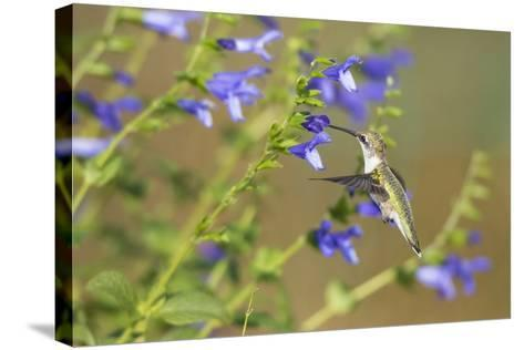 Ruby-Throated Hummingbird at Blue Ensign Salvia, Marion County, Il-Richard and Susan Day-Stretched Canvas Print